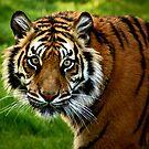 ~Sumatran Tiger! by a~m .