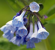 Blue Bell Flowers by Anthony Roma