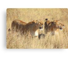 Female Lions Guarding the Kill, Maasai Mara, Kenya  Canvas Print