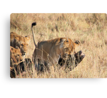 Female Lion Moving the Kill, Maasai Mara, Kenya  Canvas Print