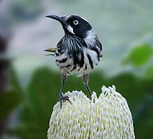 New Holland Honeyeater visting a local Banksia by Chris  Randall
