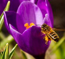 Crocus attracting a buzzing bee. by Birgit Van den Broeck