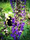 Bee on Salvia by Susan S. Kline