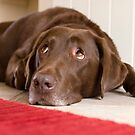 Chocolate Labrador by malinakphoto