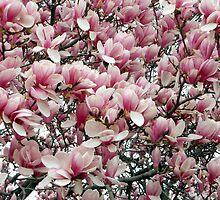 Magnolias 2011 by MarjorieB