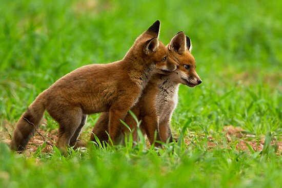 Fox Cubs by Neil Bygrave (NATURELENS)