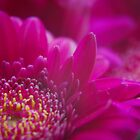 Pink Chrysanthemum by Owen Franssen