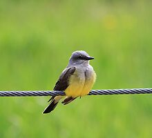 Western Kingbird by Alyce Taylor