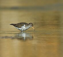 Spotted Sandpiper  by Wayne Wood