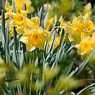 Daffodils by vadim19