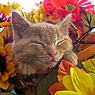 Di Milo ~ Cute Kitty Cat Kitten in Decorative Fall Colors by Chantal PhotoPix
