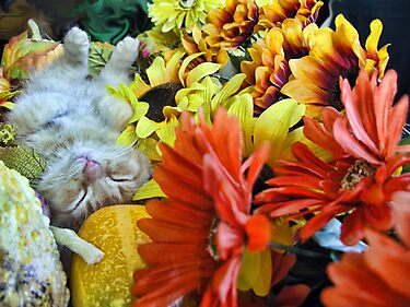 Di Milo ~ Autumn Harvest ~ Kitty Cat Kitten in Fall Colors by Chantal PhotoPix