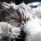 Persian kitty cat. by queenxtc