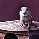 The little trouble maker, prairie dog. by queenxtc