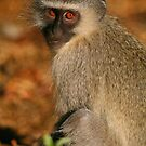 Vervet Monkey by naturalnomad