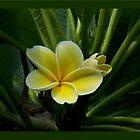 Lemon Drop Frangipani - Essence by jono johnson