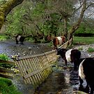 Belted Galloways by David  Barker