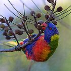 Rainbow Lorikeet by Centralian Images
