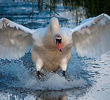 Swan simple landing by THHoang