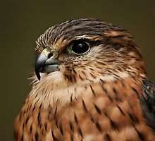 Kestrel Portrait by KWTImages