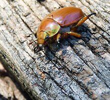 Georgie's Choice #2 - Christmas Beetle by Meg Hart