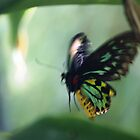 Cairns Birdwing in flight by cs-cookie