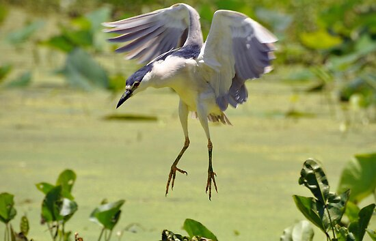Black-crowned Night Heron by venny