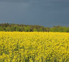rapeseed field with storm clouds in background, Brnik, Slovenia. by Ian Middleton