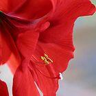 Amaryllis by Eileen McVey
