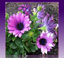 Pretty in Pink and Purple Cape Daisies by BlueMoonRose