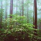 FLOWERING DOGWOOD,FOG by Chuck Wickham