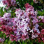 Lilacs for All Who Can't Grow Them by Debbie Robbins
