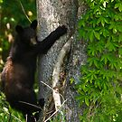 Black Bear by Joe Elliott