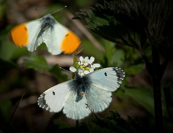 A Pair of Orange Tip Butterflys by KWTImages