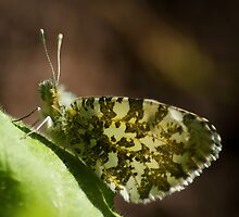 Orange Tip female by KWTImages