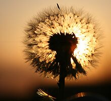 dandelion against sunset by Medeu