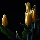 Yellow tulip in black background  by Antanas