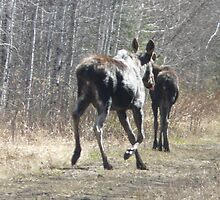 Young Cow and  Calf Moose..'Lets get outta here kid!' by MaeBelle