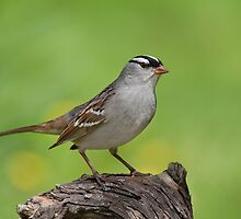 White-crowned Sparrow posing pretty. by Daniel Cadieux