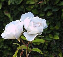 White Rose by Kate Hoppe