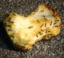 Ants On An Apple Core by Robert Phillips