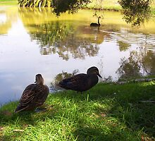 Ducks by Robert Phillips