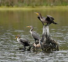 Triple Double-Crested Cormorant by Monte Morton
