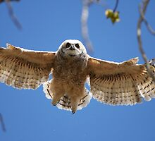 Owlet Learning to Fly by Ron Kube