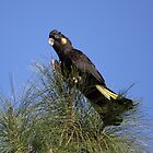 It's a matter of balance ... Yellow-tailed Black Cockatoo by mosaicavenues