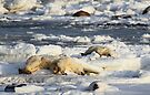 Polar Bear Mother & Cub Grooming  by Carole-Anne