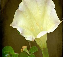 Angel's Trumpet ©  by Dawn M. Becker
