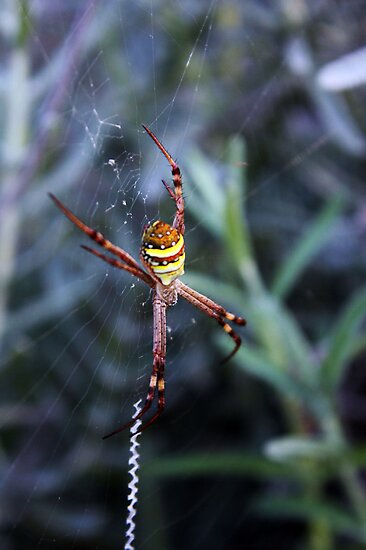 Southern Cross Spider by Rookwood Studio ©