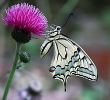 European Swallowtail Butterfly profile by nymphalid