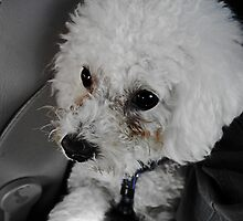 Bichon Frise by AndrewBerry